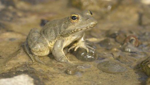 'Ερευνα για τον βάτραχο της Καρπάθου ενέκρινε το υπ. Περιβάλλοντος και Ενέργειας